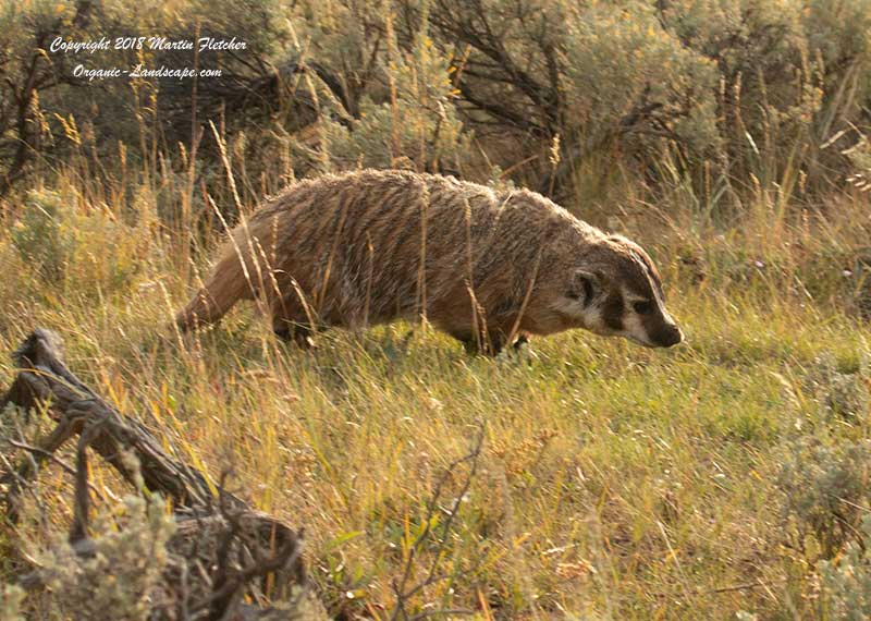 American Badger, Lamar Valley, Yellowstone