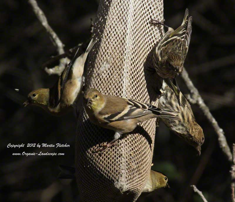 American Goldfinches on a seedbag