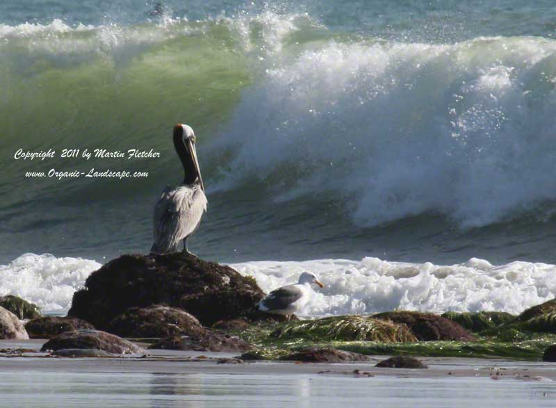 Brown Pelican watches a wave, Emma Wood State Park