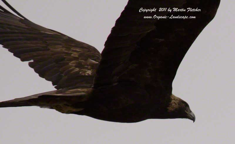 Golden Eagle Flight
