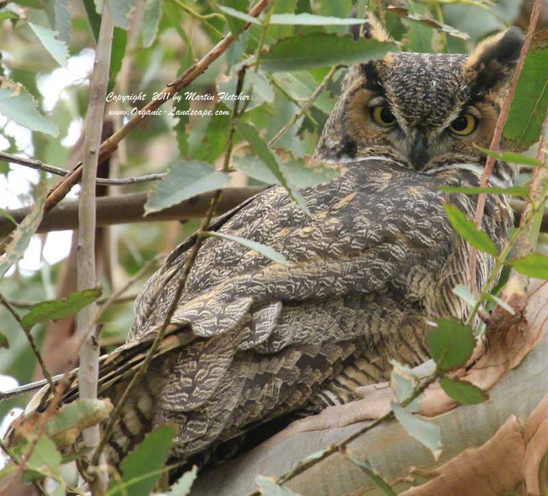 Great Horned Owl, Ojai Meadows