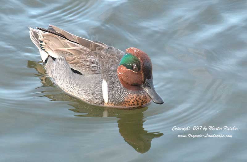 Green Winged Teal, Ballona Wetlands