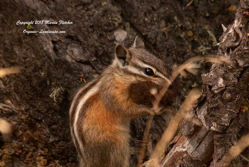 Least Chipmunk, Hellroaring Creek Trail, Yellowstone