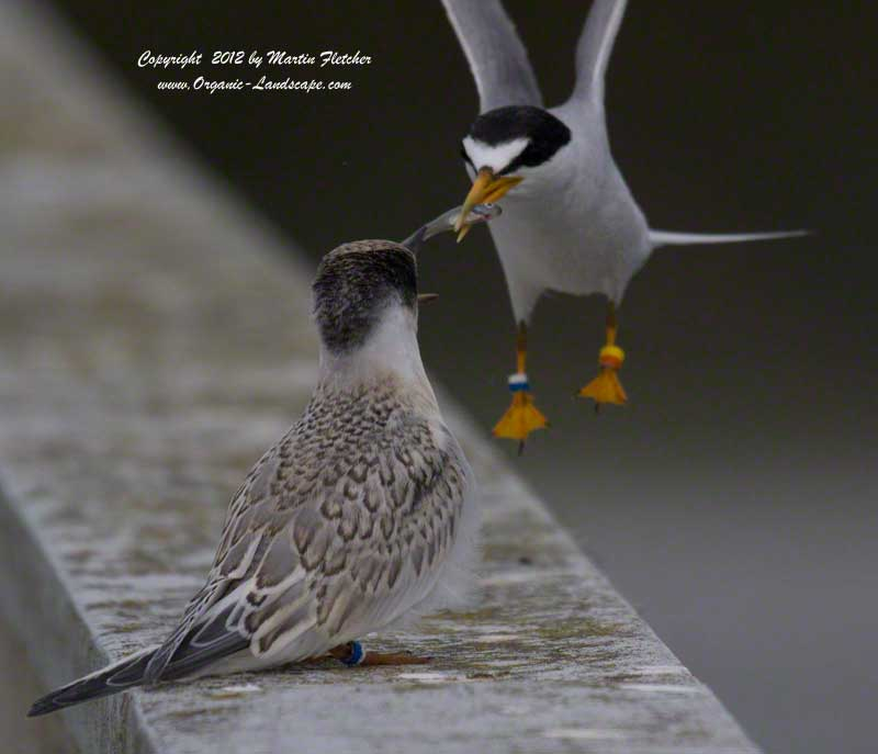Least Tern Feeding at Oso Flaco