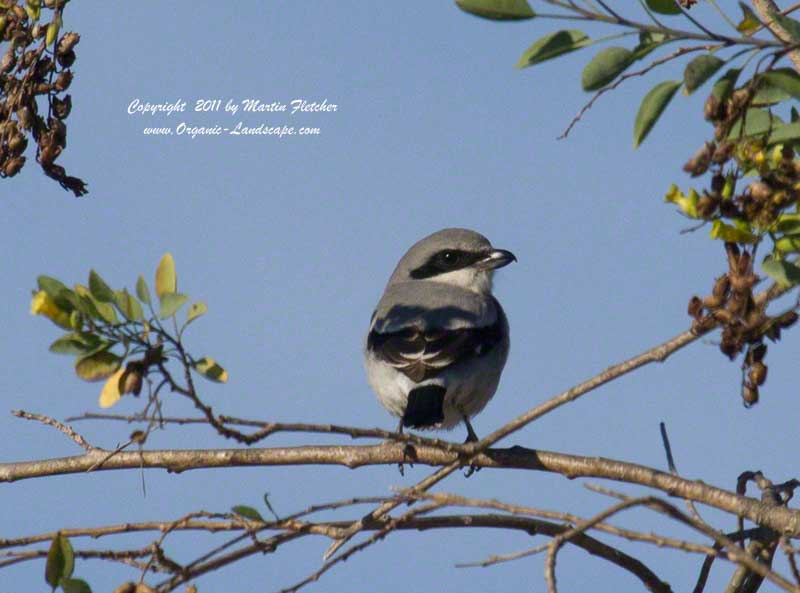 Loggerhead Shrike, Lake Casitas