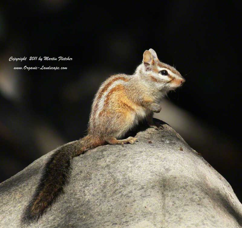 Merriams Chipmunk, Tamias merriami, Ojai