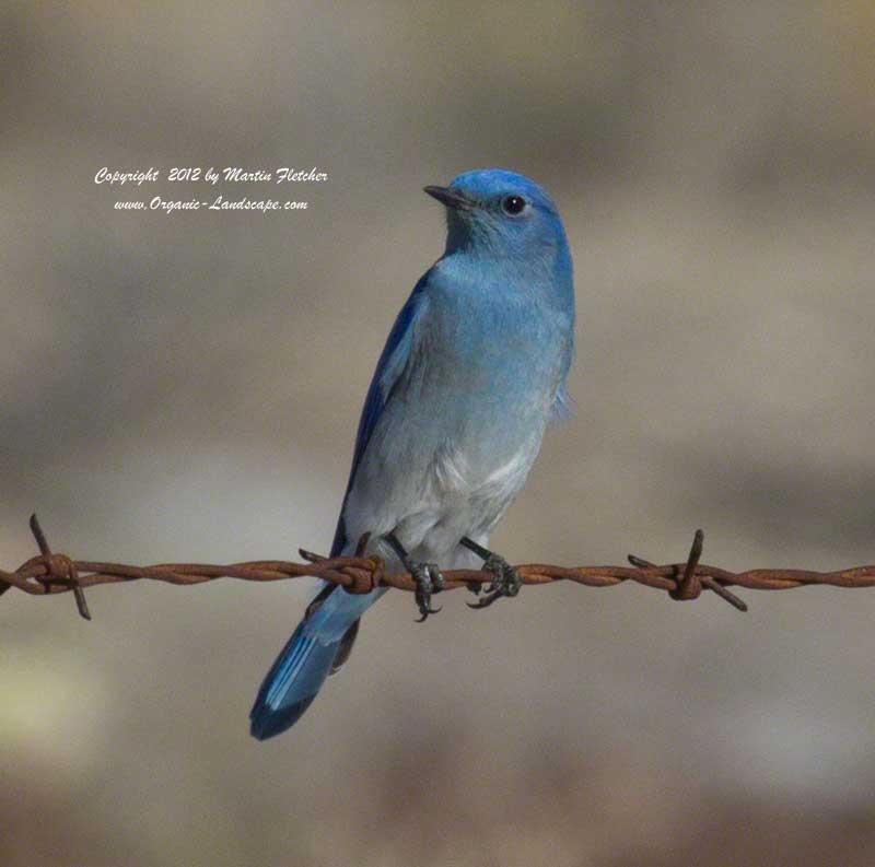 Mountain Bluebird, Carrizo