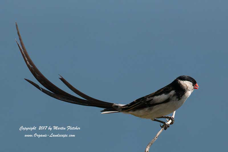 Pin Tailed Whydah, Fish Hoek South Africa