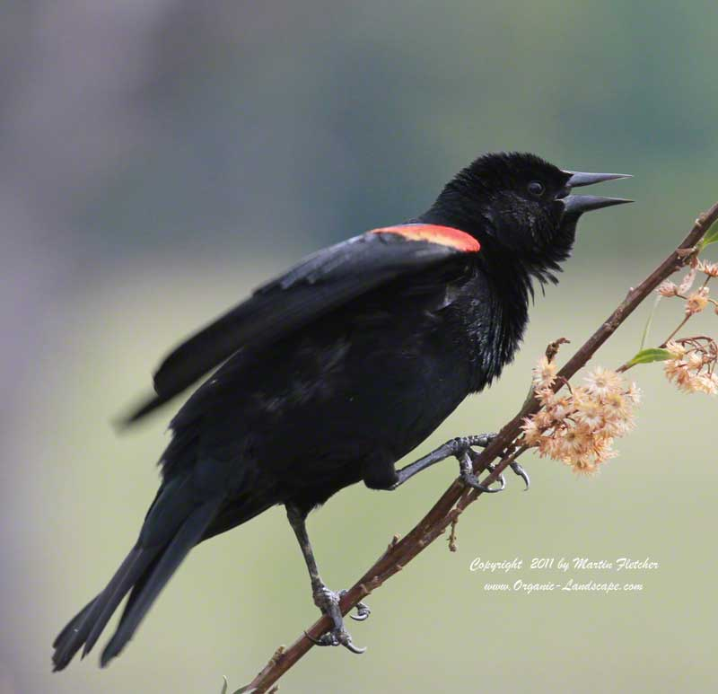 Redwing Blackbird, Ojai Meadows Preserve