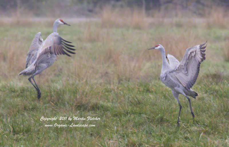 Sandhill Crane Courtship, Merced National Wildlife Refuge