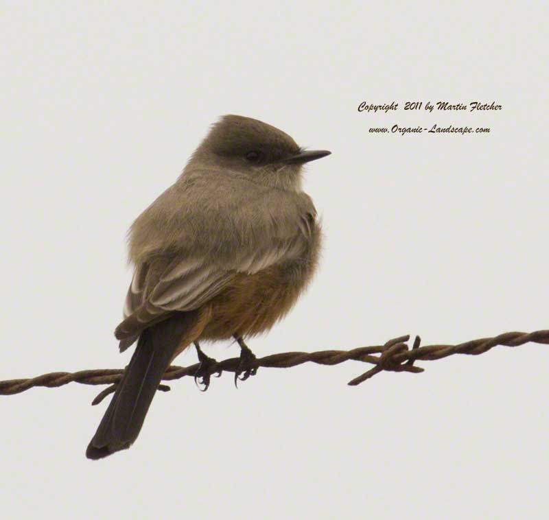 Say's Phoebe, Elwood Butterfly Grove