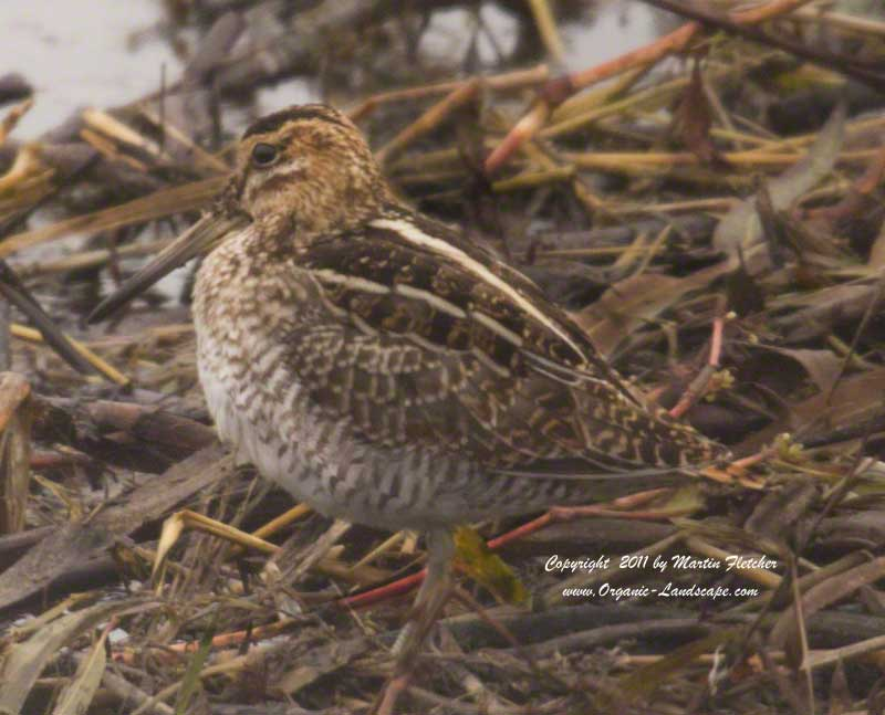 Common Snipe, Merced National Wildlife Refuge