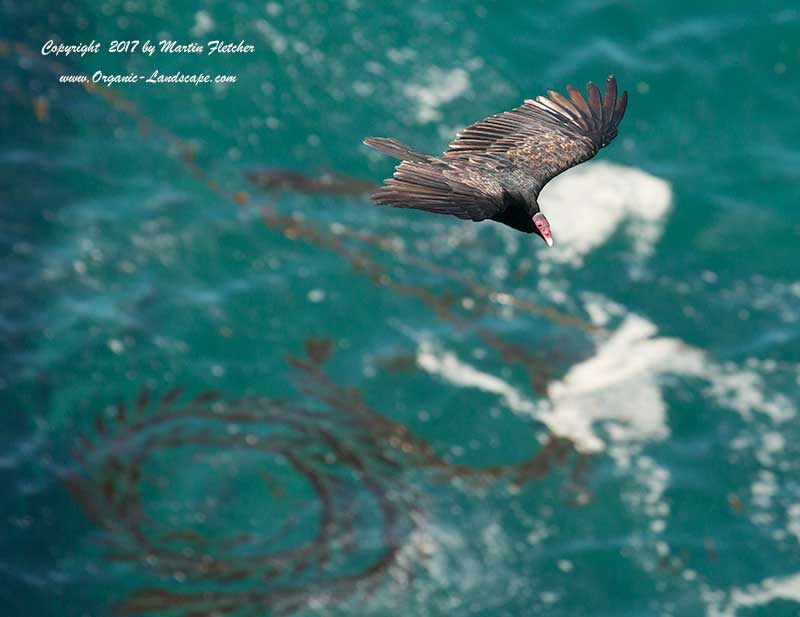 Turkey Vulture flying on Big Sur Coast