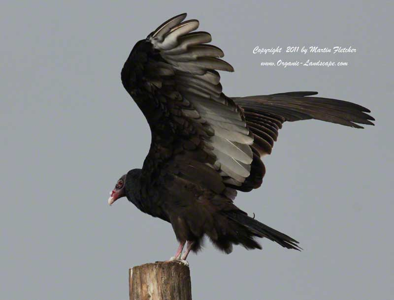 Turkey Vulture, Ojai Meadows Perserve